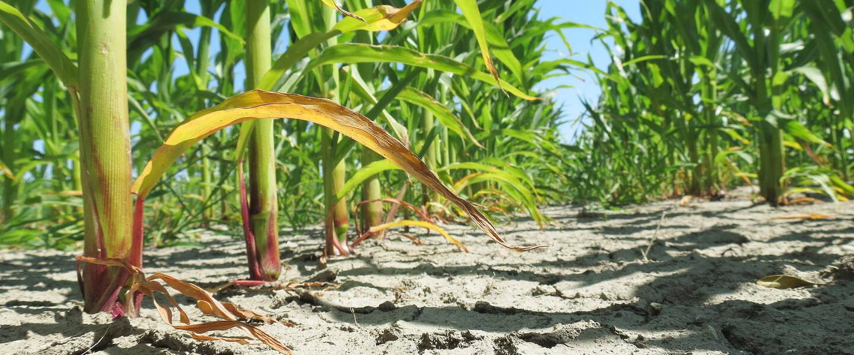 scheuren in maisplanten vanwege droge aarde