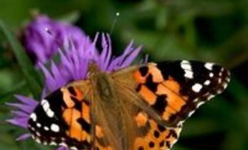 foto van een distelvlinder