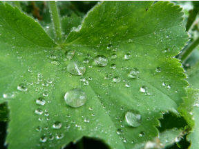 Verdamping gebeurt via planten die met hun wortels water onttrekken aan de bodem en vocht afgeven vanaf hun bladeren ((Bron: Jannes Wiersema)
