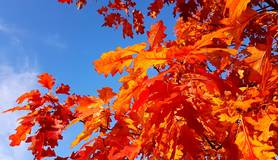 Rode herfstbladeren aan een tak