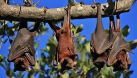 Hangende vleermuizen
