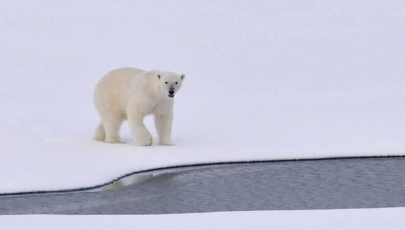 IJsbeer op zee-ijs