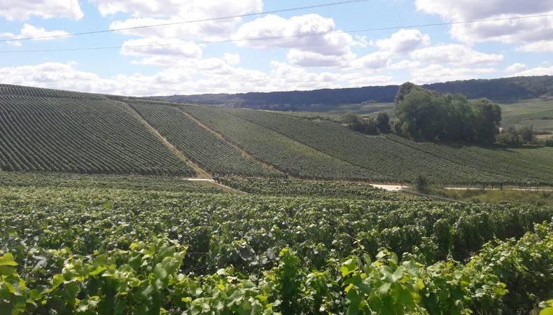wijnvelden in de Franse Champagne