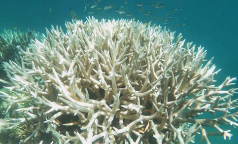 Verbleekt koraal (bron: www.iflscience.com)