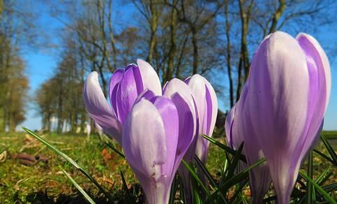 Figuur 1: Krokussen op een mooie lentedag (Jannes Wiersema, 2016)