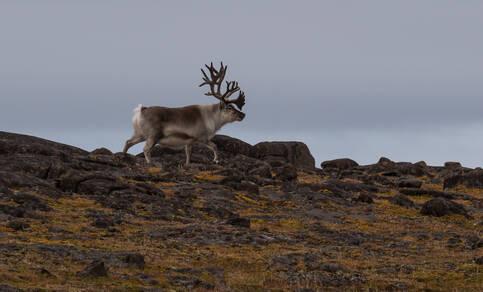 Foto van rendier op Spitsbergen.