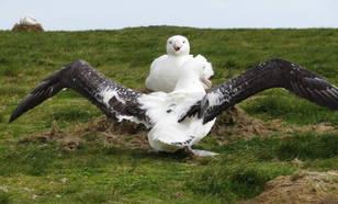 albatrossen op de Crozeteilanden