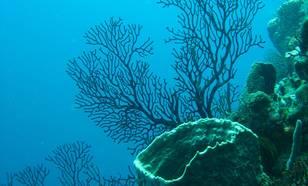 Gezond koraal bij St. Lucia (bron: wikimedia)